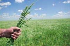 Winterweizen in der Hand des Landwirts Stockfotos