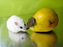 Winterwhite dwarf hamster and pear Royalty Free Stock Photos