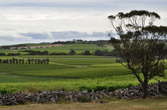 Wintery day at a vineyard in McLaren Vale Royalty Free Stock Photos