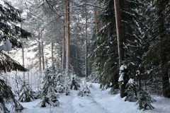 Wintery forest. Stock Photography