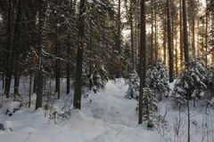 Wintery forest with sunset sun glare. Landscape of the wintery snow covered forest view with sun glare Royalty Free Stock Images