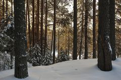 Wintery forest with sunset sun glare. Landscape of the wintery snow covered forest view with sun glare Royalty Free Stock Image