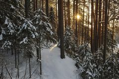 Wintery forest with sunset sun glare. Landscape of the wintery snow covered forest view with sun glare Stock Photography