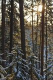 Wintery forest with sunset sun glare. Landscape of the wintery snow covered forest view with sun glare Royalty Free Stock Photos