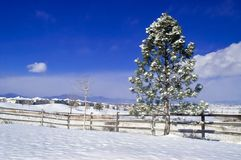 A Wintery Pine Stock Photography