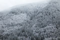 Wintery pine trees covered in snow. A wintery snow-scape scene of pine trees covered in a thick layer of snow stock image