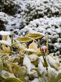 Snow on vegetation. Wintery scene of a light dusting of snow on garden vegetation Stock Photo