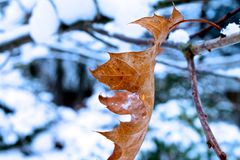 Winther leaf Stock Photography