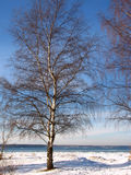 Wintry birches stock image