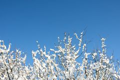 Wintry branches Royalty Free Stock Images