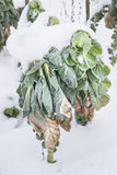 Wintry Cabbage Plant Royalty Free Stock Photos