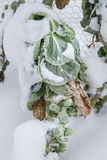 Wintry Cabbage Plant Stock Image