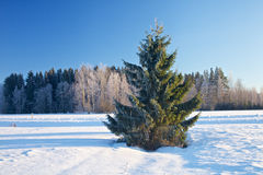 Wintry Fir Tree Stock Photo