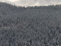 Wintry forest Stock Photography