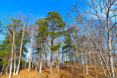 Wintry forest lit by sun. Bright winter day in the forest colored by evergreen pines and dry yellow grass Stock Images