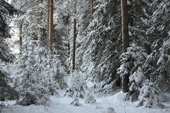 Wintry forest. Royalty Free Stock Images