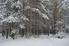 Wintry forest. Stock Photos