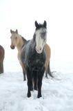 wintry hästar Arkivbild