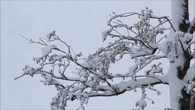 Wintry landscape,  snow on tree branches stock video