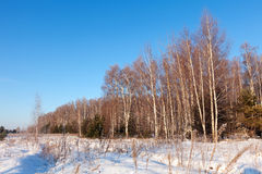 Wintry lanscape with birches Stock Photo
