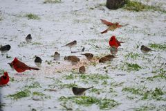 Cardinals (A Wintry Mix) royalty free stock photos