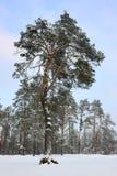 Wintry pine. Royalty Free Stock Photo