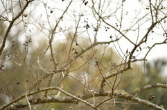 Wintry popcorn tree branches Royalty Free Stock Images