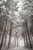 Wintry Road under the Snowy Trees Royalty Free Stock Photography