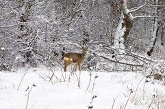 Wintry roe deer Stock Photography
