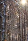 Wintry sörja skogen Arkivbild