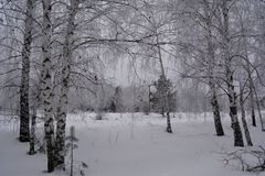 Wintry scene. Birch trees in snow. Mixed forest in cloudy winter day royalty free stock photos