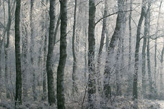 Wintry scene: Hoarfrost in the forest. The sun shines through the with hoarfrost covered bushes and trees in the forest Stock Images