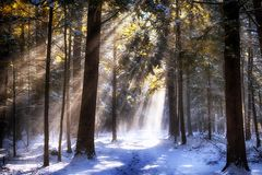 Wintry sunlight beams through forest canopy