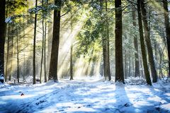 Wintry sunlight beams through forest canopy. Sunlight beams shinning through a hemlock forest in White memorial conservation area in Litchfield Connecticut royalty free stock photos