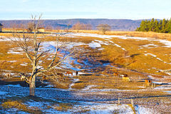 Wintry valley with grazing horses. Farmland touched by snow at sunset in West Virginia Royalty Free Stock Images