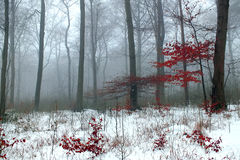 Wintry Woodland. Snow covered woodland with red leaves Stock Photo