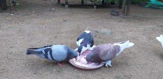 Wioślarscy gatunki w Sri Lanka zdjęcie stock