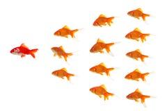 wiodąca czerwieni złotą rybkę Obrazy Stock