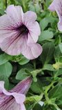 Wiolet petunia. Flovers Stock Photo
