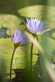 Wiolet water lily Stock Photo