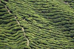 wiosłuje herbaty Zdjęcie Royalty Free