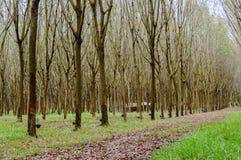 Wiosłuje mnóstwo gumowego drzewa w Tajlandia Masowa produkcja guma Obraz Royalty Free