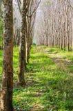 Wiosłuje mnóstwo gumowego drzewa w Tajlandia Masowa produkcja guma Obrazy Stock