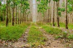 Wiosłuje mnóstwo gumowego drzewa w Tajlandia Masowa produkcja guma Zdjęcia Royalty Free