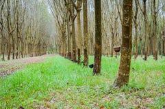 Wiosłuje mnóstwo gumowego drzewa w Tajlandia Masowa produkcja guma Fotografia Royalty Free
