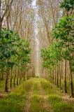 Wiosłuje mnóstwo gumowego drzewa w Tajlandia Masowa produkcja guma Zdjęcia Stock