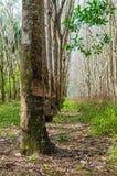 Wiosłuje mnóstwo gumowego drzewa w Tajlandia Masowa produkcja guma Obraz Stock