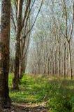 Wiosłuje mnóstwo gumowego drzewa w Tajlandia Masowa produkcja guma Zdjęcie Stock