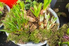 Wiosen żarówki w roślina garnku Fotografia Royalty Free