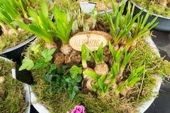 Wiosen żarówki w roślina garnku Zdjęcia Royalty Free